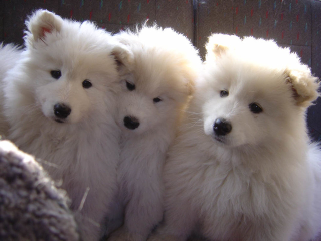 the three samoyeds